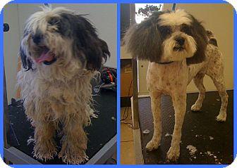 Tibetan Terrier Mix Dog for adoption in Scottsdale, Arizona - Takari