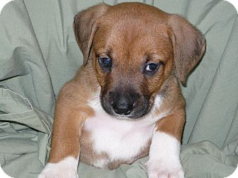 Boxer/Feist Mix Puppy for adoption in Princeton, Kentucky - Freddie