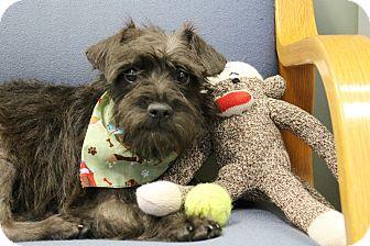 Schnauzer (Miniature)/Dachshund Mix Puppy for adoption in Norwalk, Connecticut - Sherwin