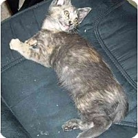 Domestic Shorthair Kitten for adoption in Simms, Texas - Cleo