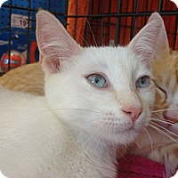 Adopt A Pet :: Snowball - Beverly Hills, CA