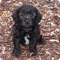 Adopt A Pet :: Will - La Habra Heights, CA