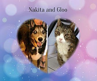 Domestic Shorthair Cat for adoption in Phoenix, Arizona - Gloo