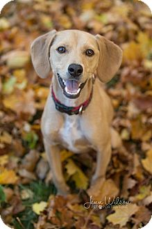Cocker Spaniel/Beagle Mix Dog for adoption in Drumbo, Ontario - Cody