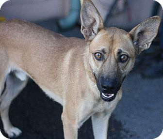 Australian Kelpie Mix Dog for adoption in Canoga Park, California - Barney