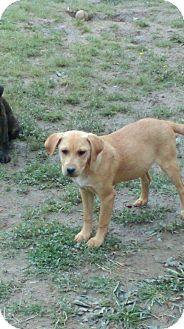 Labrador Retriever Mix Puppy for adoption in Russellville, Kentucky - Lucy