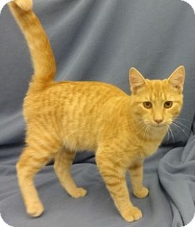 Domestic Shorthair Cat for adoption in Olive Branch, Mississippi - Mango