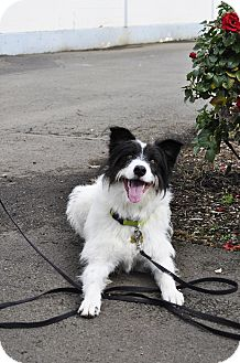 Border Collie Mix Dog for adoption in Woodburn, Oregon - Corby