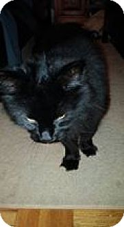 Domestic Shorthair Cat for adoption in THORNHILL, Ontario - Tonic