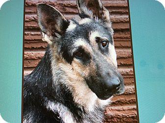 German Shepherd Dog Puppy for adoption in Los Angeles, California - JUNO VON JOLI
