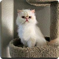Adopt A Pet :: Duncan - Gilbert, AZ