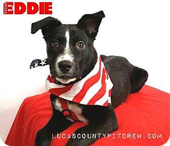 Shepherd (Unknown Type)/Labrador Retriever Mix Dog for adoption in Toledo, Ohio - Eddie