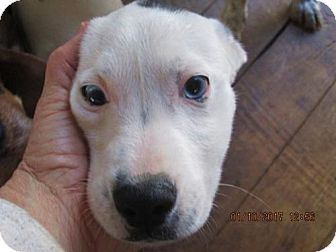 Jack Russell Terrier/Feist Mix Puppy for adoption in Oswego, New York - EMMETT