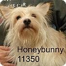 Adopt A Pet :: Honey Bunny