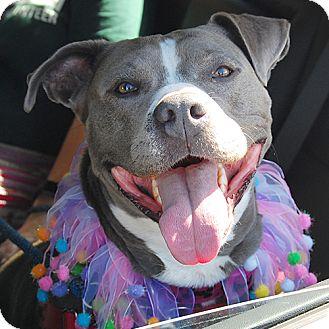 American Pit Bull Terrier Dog for adoption in Burlingame, California - Elsa