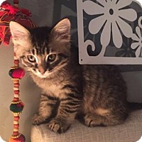 Adopt A Pet :: Romeo(bonded to Juliette) - Richmond Hill, ON