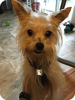 Maltese/Yorkie, Yorkshire Terrier Mix Dog for adoption in Hedgesville, West Virginia - Pretty Pebbles