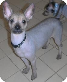 Chinese Crested/Chihuahua Mix Dog for adoption in Jackson, Michigan - Yoda