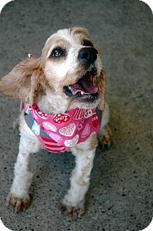 Cocker Spaniel Dog for adoption in Sacramento, California - Pebbles