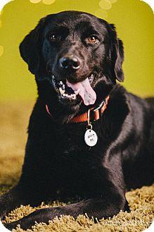 Labrador Retriever Mix Dog for adoption in Portland, Oregon - Tony
