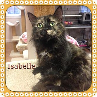 Domestic Longhair Cat for adoption in Atco, New Jersey - Isabelle