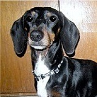 Dachshund Dog for adoption in Houston, Texas - Beau Berlin