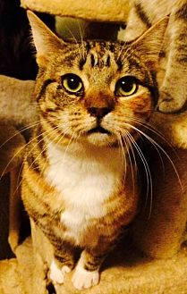 Domestic Shorthair Cat for adoption in Chattanooga, Tennessee - Tiger