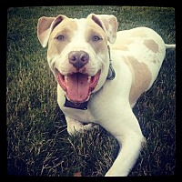 American Pit Bull Terrier/American Bulldog Mix Dog for adoption in Kenmore, New York - Ziggy