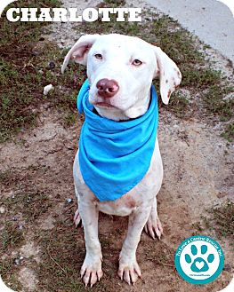 Hound (Unknown Type)/Labrador Retriever Mix Puppy for adoption in Kimberton, Pennsylvania - Charlotte