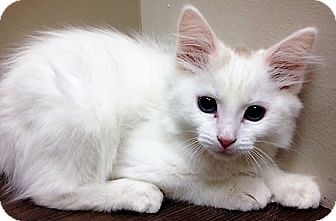 Domestic Mediumhair Kitten for adoption in Downers Grove, Illinois - ADOPTED!!!   Duchess