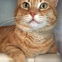 Adopt A Pet :: Thomas O'Malley - Oakdale, CA