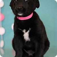 Adopt A Pet :: Paddy - Waldorf, MD