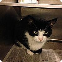 Adopt A Pet :: Slapshot - Lombard, IL