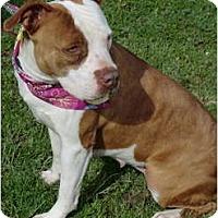 Adopt A Pet :: Sugar - Red-Nosed Sweetie! - Sacramento, CA