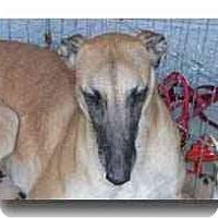 Adopt A Pet :: Sugar - Roanoke, VA
