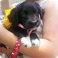 Adopt A Pet :: Valeri - New Boston, NH