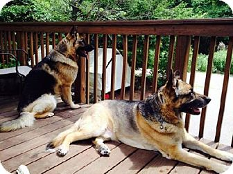 German Shepherd Dog Dog for adoption in Hewitt, New Jersey - L-Roy - ADOPTION PENDING - Congrats Krissy & Fam!