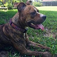 Staffordshire Bull Terrier Mix Dog for adoption in Royal Palm Beach, Florida - Honey