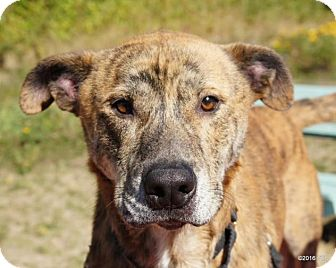 Mastiff/Labrador Retriever Mix Dog for adoption in Bellingham, Washington - Sam