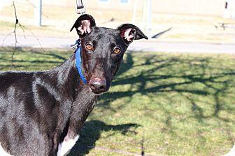Greyhound Dog for adoption in Ashland City, Tennessee - Magic