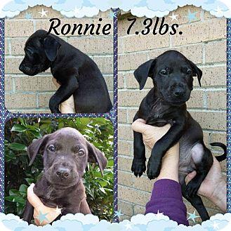 Labrador Retriever/Hound (Unknown Type) Mix Puppy for adoption in Shaw AFB, South Carolina - Ronnie