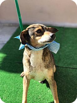 Beagle/Terrier (Unknown Type, Medium) Mix Dog for adoption in San Diego, California - CH ( aka Chiwis)