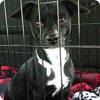 Adopt A Pet :: Lilo's Puppies - Staunton, VA