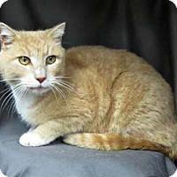 Adopt A Pet :: Pee Wee - Merrifield, VA