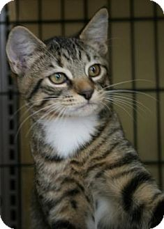 Domestic Shorthair Kitten for adoption in Frederick, Maryland - AngelCat