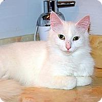 Adopt A Pet :: Dazzle - Arlington, VA