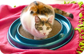 Calico Cat for adoption in St Louis, Missouri - Dylan
