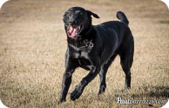 Labrador Retriever Dog for adoption in High River, Alberta - jesse
