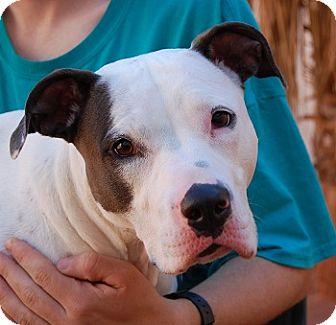 American Bulldog Mix Dog for adoption in Las Vegas, Nevada - Marissa