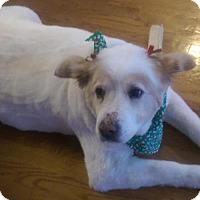 American Eskimo Dog Dog for adoption in Mooresville, North Carolina - SUGAR OF GA